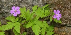 geranium_robertianum-cg01
