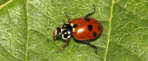 hippodamia-variegata-cg01