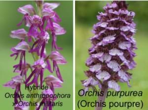 orchis militaris purpurea