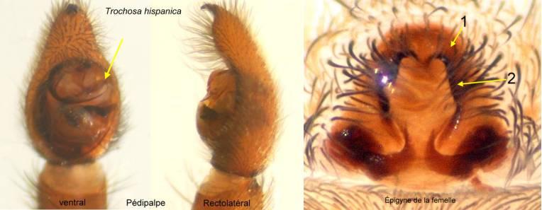 Trochosa_hispanica-genitalias
