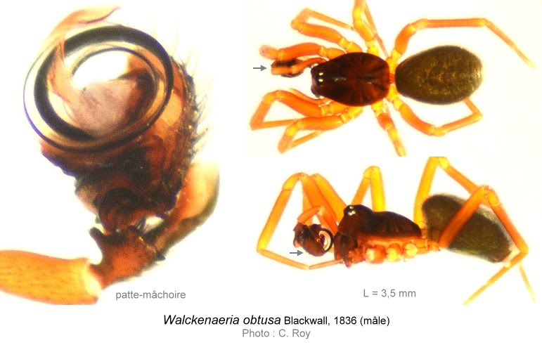 Walckenaeria_obtusa-02-C_ROY