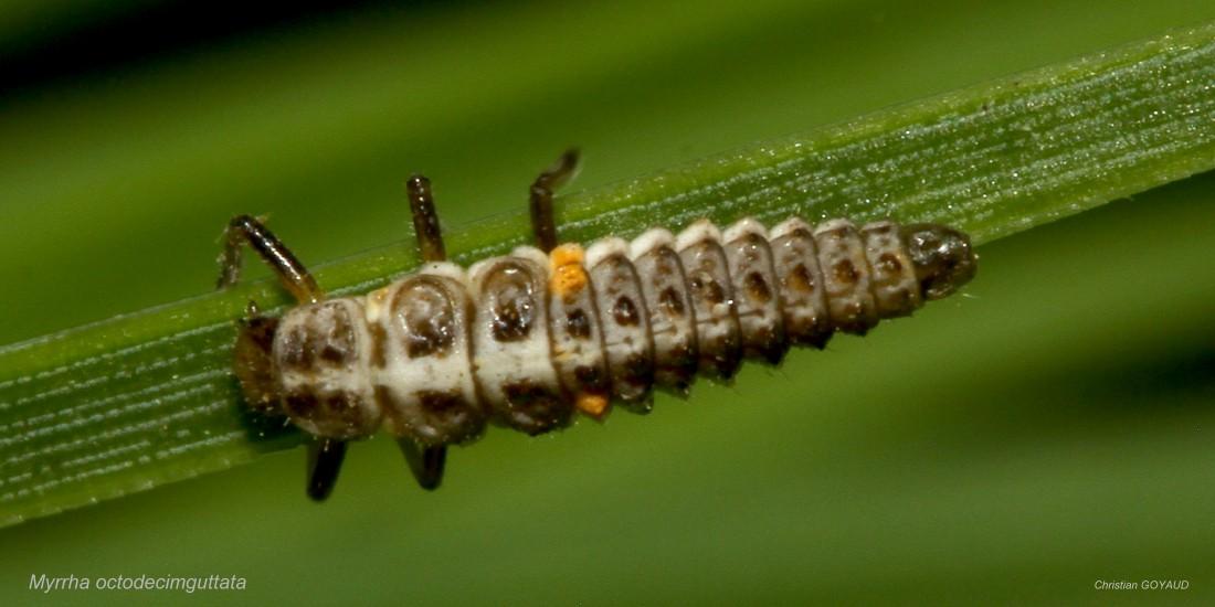 Myrrha_octodecimguttata_larve_CG02